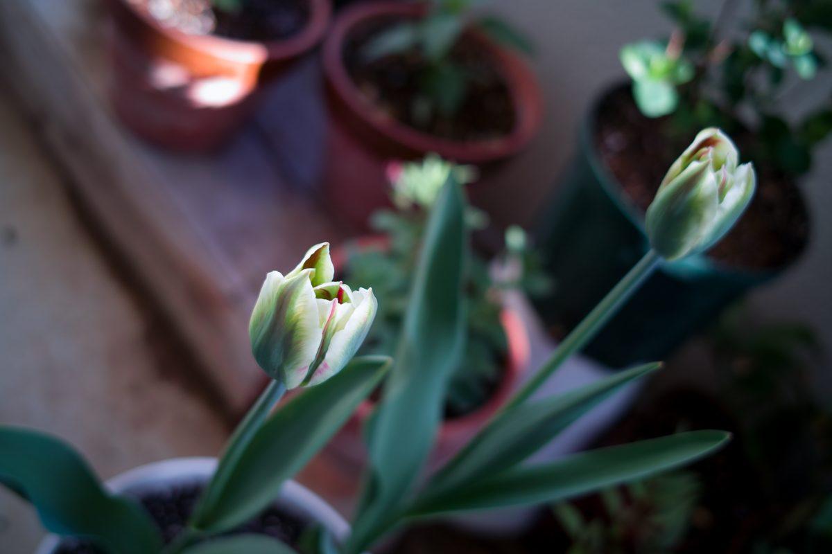 チューリップ咲きはじめ